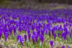 开花狂放的番红花,番红花狂放在早期的春天,第一绿叶的萌芽从雪,乌克兰,喀尔巴汗下面的 免版税库存图片