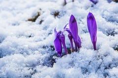 开花狂放的番红花,番红花狂放在早期的春天,第一绿叶的萌芽从雪,乌克兰,喀尔巴汗下面的 免版税库存照片