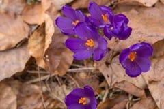 开花狂放的番红花,番红花狂放在早期的春天,第一绿叶的萌芽从雪,乌克兰,喀尔巴汗下面的 库存照片