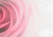 开花玫瑰花瓣,甜样式软,甜口气  装饰的背景 库存照片
