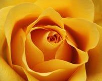 开花玫瑰黄色 免版税库存照片