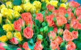 开花玫瑰 免版税库存照片