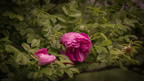 开花用雨盖的一朵野生玫瑰的花滴下 免版税库存图片