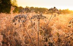 开花用霜盖的干植物 免版税库存图片