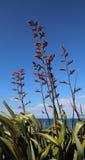 开花由海洋的新西兰Harakeke胡麻 免版税库存图片
