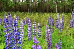 开花由绿色森林的野生羽扇豆在芬兰 免版税库存图片