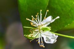 开花番樱桃uniflora与叶子的苏里南樱桃在背景宏指令照片 库存照片