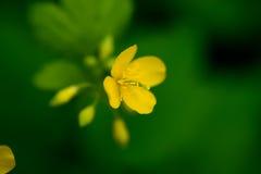 开花白屈菜,与几乎开放明亮的黄色瓣 图库摄影