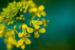 开花白屈菜,与几乎开放明亮的黄色瓣 免版税库存图片