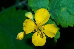 开花白屈菜,与在绿色背景的开放明亮的黄色瓣 宏指令 图库摄影