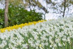 开花白色和黄色黄水仙水仙在公园 图库摄影