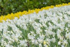 开花白色和黄色黄水仙水仙在公园 库存图片