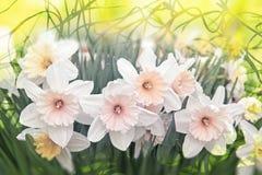 水仙开花白色和黄色,卷曲植物纹理 库存照片