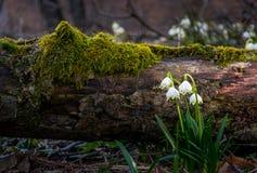 开花白色春天雪花在森林里 免版税图库摄影