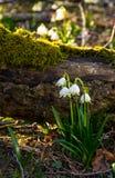 开花白色春天雪花在森林里 库存照片