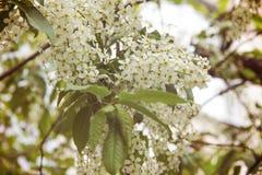 开花白色樱桃花 图库摄影