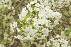 开花白色樱桃花 库存图片