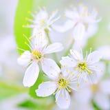 开花白色的樱桃关闭 免版税库存图片