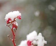 开花白色积雪在冬景花园的寒冷 免版税库存图片