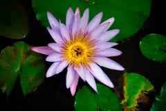 开花白色,紫色花梢waterlily或莲花特写镜头  免版税库存照片