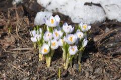 开花白色,蓝蓝番红花,反对熔化的雪背景  早期的春天 库存图片