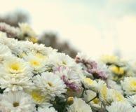 开花白色,黄色和桃红色春黄菊,菊花 抽象花卉自然本底,春天花 免版税库存照片