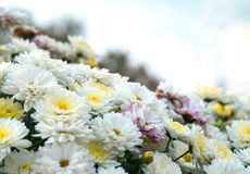 开花白色,黄色和桃红色春黄菊,菊花 抽象花卉自然本底,春天花 库存图片