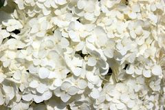 开花白色 精美花卉背景 库存照片