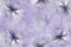 开花白紫罗兰色背景 紫色白的大瓣花郁金香 花卉拼贴画 背景构成旋花植物空白花的郁金香 库存图片