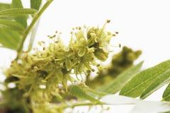 开花皂荚树(Gleditsia triacanthos) 免版税库存图片