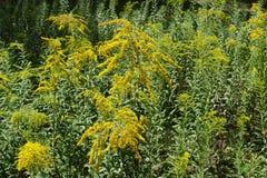 开花的一枝黄花canadensis植物在夏天 免版税库存图片