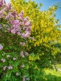 开花的丁香和金莲花树反对天空蔚蓝 免版税库存照片