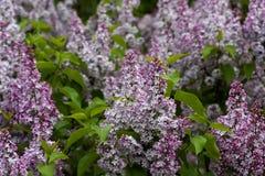 开花的丁香在庭院自然的春天 库存图片