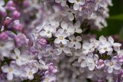 开花的丁香在庭院自然的春天 免版税库存照片