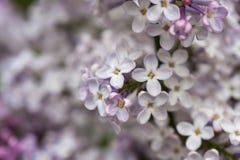 开花的丁香在庭院自然的春天 库存照片
