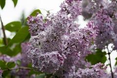 开花的丁香在庭院自然的春天 免版税库存图片