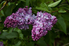 开花的丁香在庭院自然的春天 免版税图库摄影