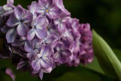 开花的丁香在庭院自然的春天 图库摄影