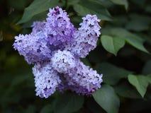 开花的丁香在庭院里 免版税库存图片