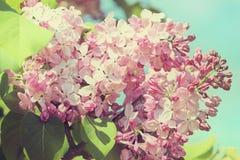开花的丁香在春天庭院里 库存图片