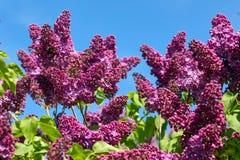 开花的丁香在春天庭院里 免版税图库摄影