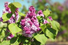 开花的丁香在春天庭院里 免版税库存照片