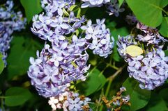 开花的丁香接近  被弄脏的背景 库存图片