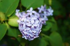 开花的丁香接近  被弄脏的背景 免版税库存图片