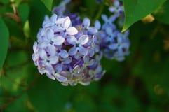 开花的丁香接近  被弄脏的背景 免版税图库摄影