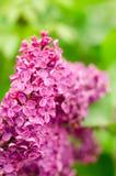 开花的丁香 紫色束丁香在劳动节 库存照片