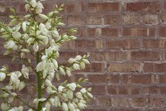 开花的丝兰厂对粗砺的砖墙 免版税图库摄影