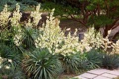 开花的丝兰的灌木 库存图片