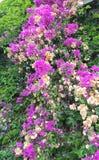 开花的九重葛在旅馆庭院,凯梅尔海手段,土耳其里 图库摄影
