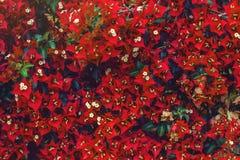 开花的九重葛美好的背景在一个绿色庭院里开花 库存照片